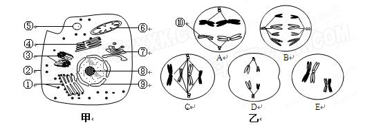 (10分)下图甲是某高等动物细胞亚显微结构